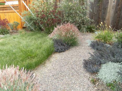 Carex pansa lawn