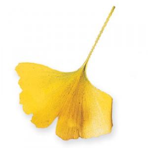 gingko-leaf
